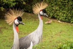 Crane Bird Portrait incoronato Fotografia Stock Libera da Diritti