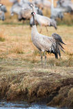 Crane bird standing at waters edge Royalty Free Stock Image