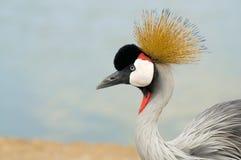 Crane bird staring. Portrait of a Crane bird staring Stock Images