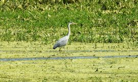 Crane bird in swamp in spring , Lithuania. Walking crane bird in flood swamp royalty free stock image