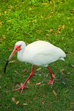 Crane bird walking on grass. White Crane bird walking on grass Royalty Free Stock Photography