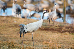 Crane bird walking in grassfield closeup. Crane (Grus grus) walking in grassfield with lot of birds in background Royalty Free Stock Image