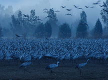 Crane birds Stock Photography