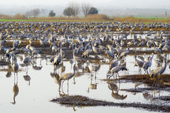 Crane birds in Agamon Hula bird refuge Royalty Free Stock Photo
