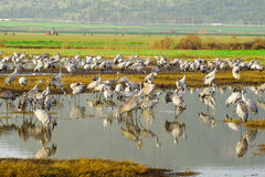 Crane birds in Agamon Hula bird refuge Stock Photos