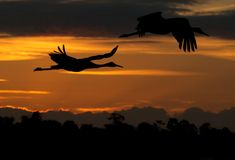 Crane birds flying at sunset. Silhouette of two Sandhill crane birds flying at sunset, cloudscape in background Royalty Free Stock Images
