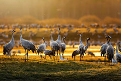 Crane birds in morning light during a spring Royalty Free Stock Photos