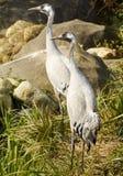 Crane Birds Stock Photo