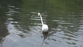 Crane. A crane in a Central Park pond stock footage