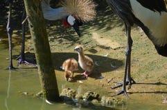 Crane Chick com crista Imagens de Stock Royalty Free