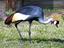 crane crown Zdjęcie Royalty Free