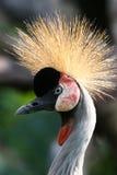 crane crown grey Fotografia Royalty Free