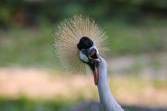 crane crown grey Zdjęcia Royalty Free