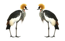 crane crown grey fotografia royalty free
