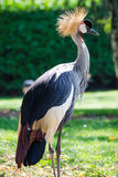 crane crown grey Obrazy Royalty Free