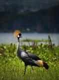 crane crown grey Obraz Royalty Free