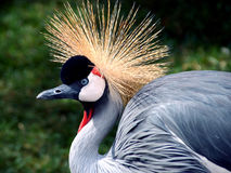 crane crown grey obraz royalty free