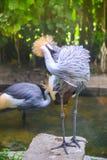 crane crown grey Zdjęcie Stock