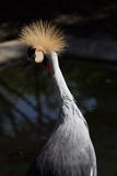 Crane crown Stock Photography