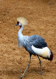 Crane - Crowned crane Royalty Free Stock Photo