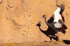 crane czarnego crown Obraz Royalty Free