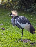 crane czarnego crown zdjęcie royalty free