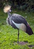 crane czarnego crown obrazy stock