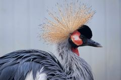 crane czarnego crown fotografia stock