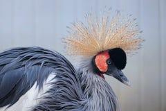 crane czarnego crown fotografia royalty free