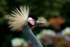 crane czarnego crown Zdjęcia Royalty Free