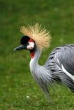 crane czarnego crown zdjęcie stock