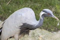 Crane damsel bird. Profile close-up of crane damsel bird Royalty Free Stock Image