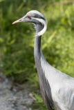 Crane damsel bird. Profile close-up of crane damsel bird Stock Photography