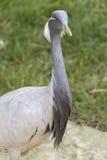 Crane damsel bird. Profile close-up of crane damsel bird Stock Photos