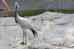 Crane damsel bird. On the rocks near the pond Royalty Free Stock Photography