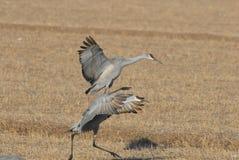 Crane Dance Stock Photo