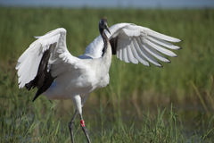 Crane dancing Royalty Free Stock Photography