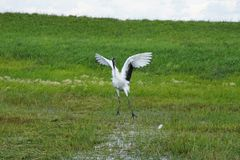 Crane dancing stock images