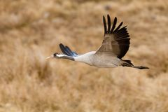 Crane eurasian or grus grus Stock Images