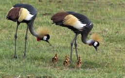 Crane Family Imagens de Stock