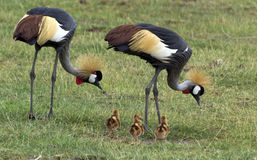 Crane family. Crane in safari in Kenya Stock Images