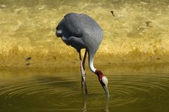 Crane feeding Royalty Free Stock Images