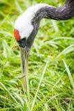 Crane Feeding Rosso-incoronato, primo piano Immagini Stock Libere da Diritti