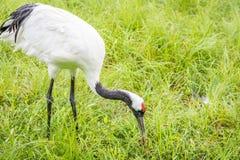 Crane Feeding Rouge-couronné Images stock
