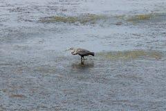 Crane Feeding In Water immagine stock
