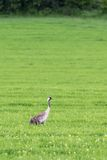 Crane on a field Royalty Free Stock Image