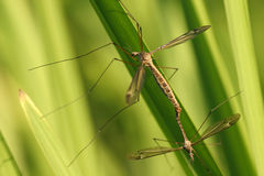 Crane Flies Royalty Free Stock Images