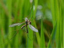 Crane flies mating. In a field of green grass stock image