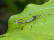 Crane Flies Mating on a Leaf Royalty Free Stock Photography