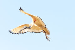 A Crane in flight Stock Photography